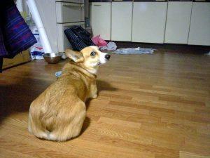 去年まで一緒にいた愛犬 みかん かわいかったです。